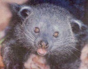 Photograph of a real bearcat.