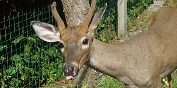 Deer Infestation in Staten Island